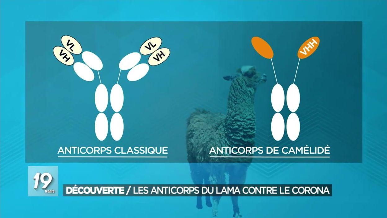 Découverte : les anticorps du lama contre le coronavirus ?
