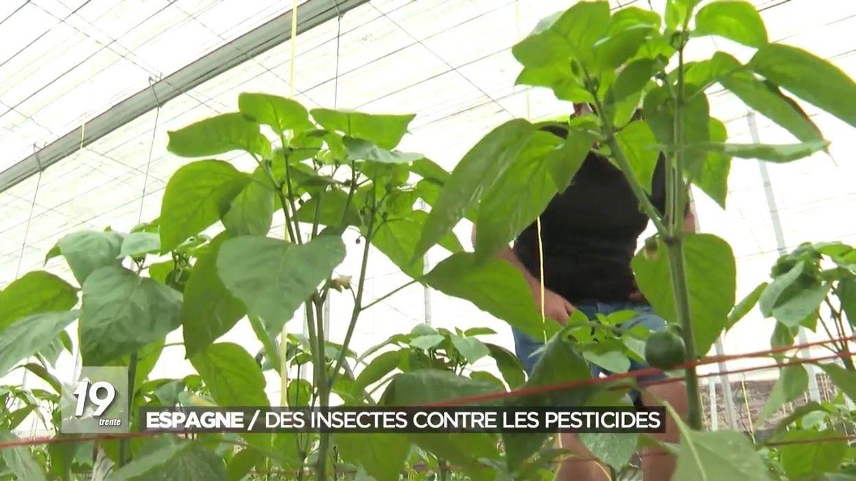 Culture des légumes en Espagne : des insectes contre les pesticides