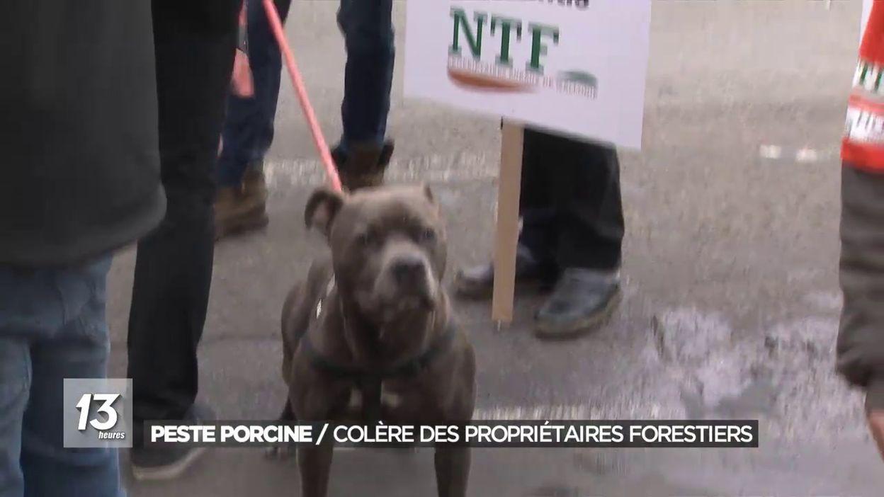 Peste porcine: colère des propriétaires forestiers