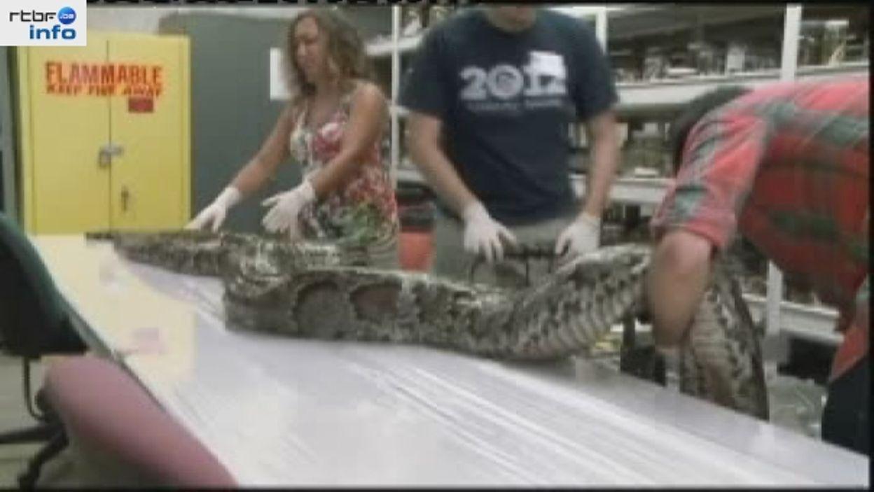 Un python géant de plus de 5 m et 75 kg retrouvé en  Floride