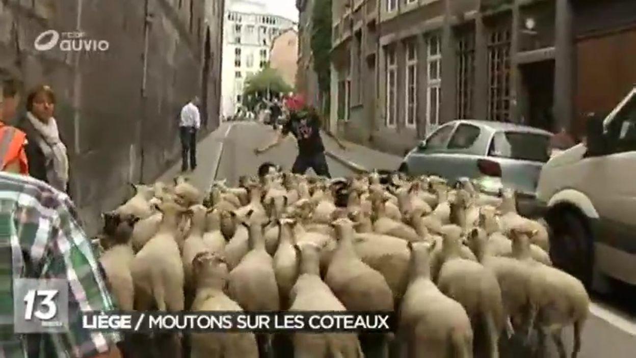 La transhumance des moutons vers les coteaux de la citadelle de Liège