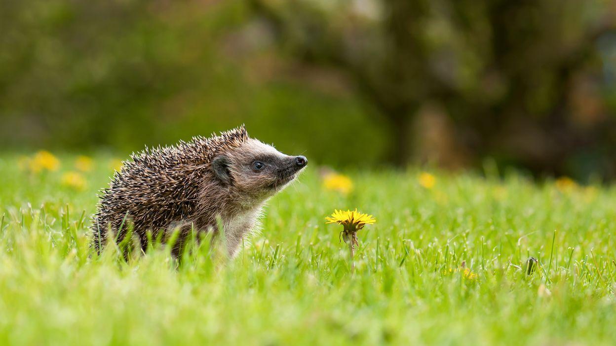 Le hérisson, un petit auxilaire du  jardin à protéger  absolument !