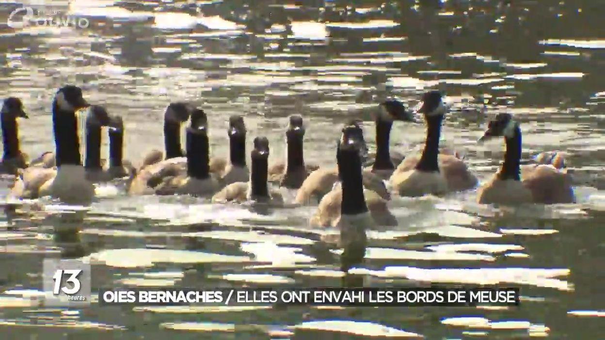 Euthanasie des oies bernaches qui deviennent trop invasives