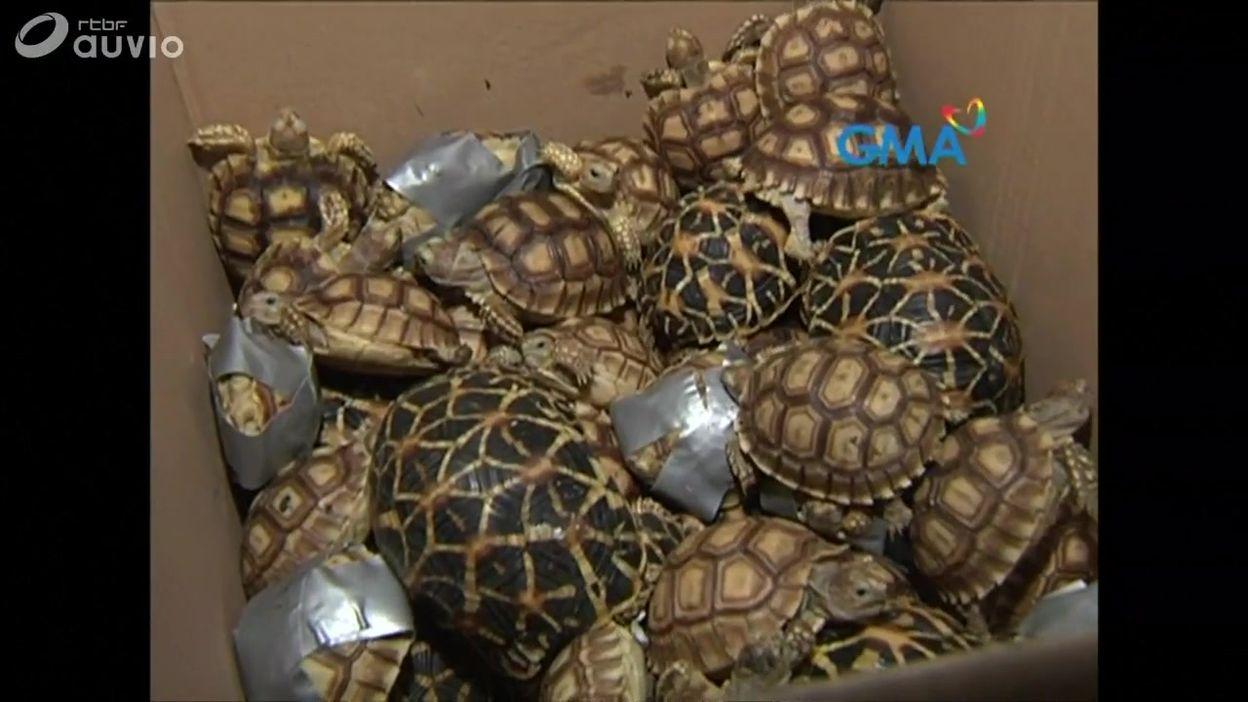 Manille : 1529 tortues découvertes dans des bagages