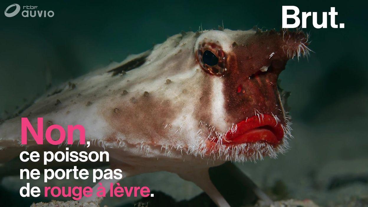 Connaissez-vous le poisson chauve-souris à lèvres rouges ?