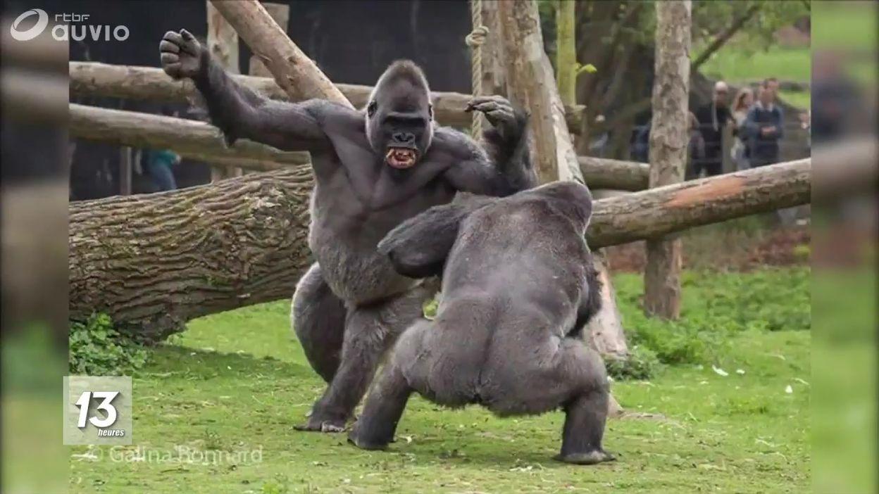 Pairi Daiza : combat de gorilles !