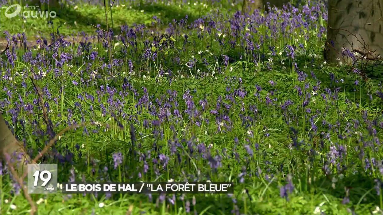 Fleur De Sous Bois Bleue le bois de hal en fleurs : la forêt bleue - jt 19h30 - 16/04/2019
