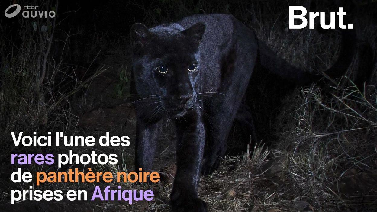 Une panthère noire photographiée en Afrique, une image rare