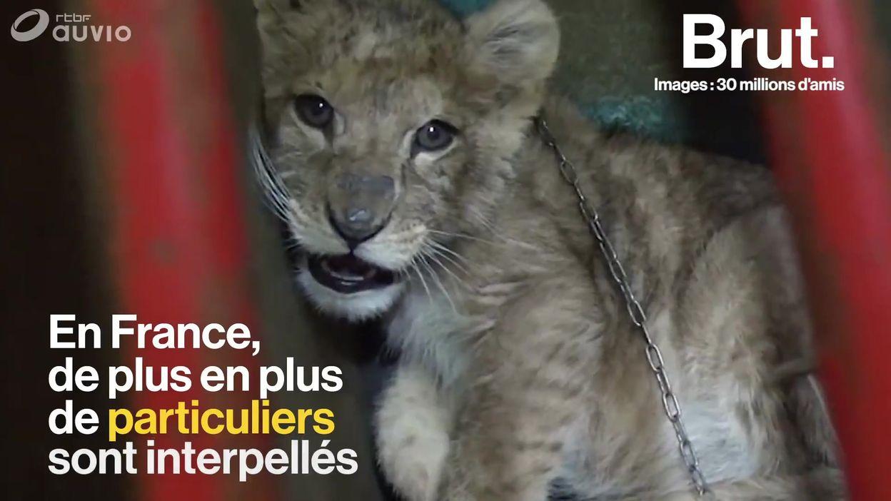 De plus en plus de lionceaux utilisés comme animaux de compagnie