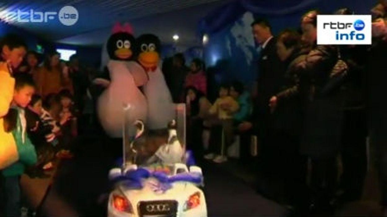 Chine: le mariage de deux pingouins.