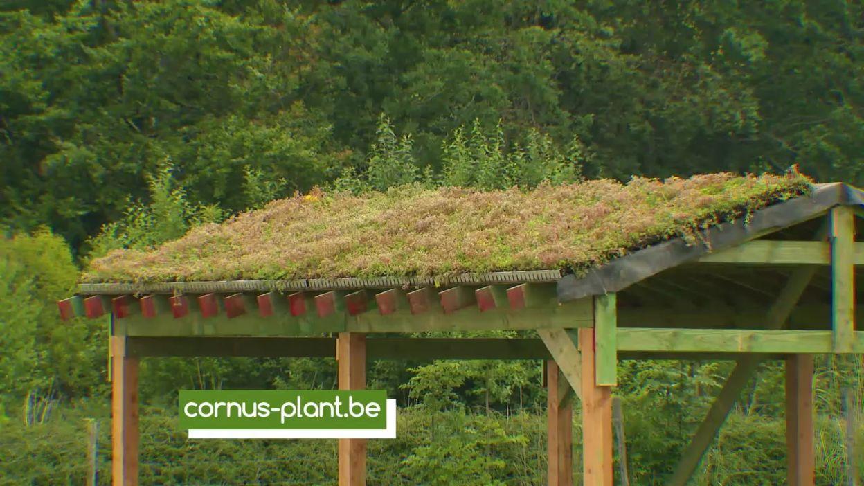 Sedums pour toitures vertes à la pépinière Cornus plant