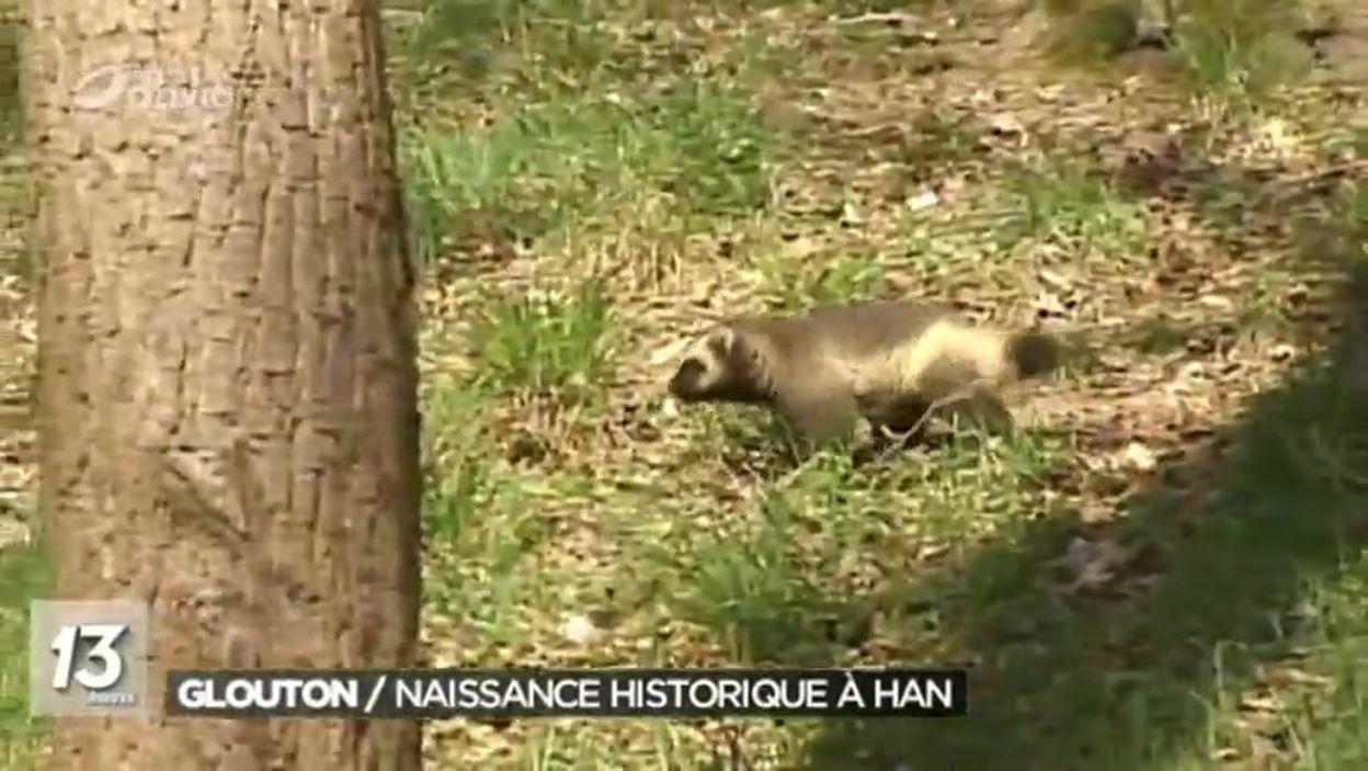 Naissance exceptionnelle d'un glouton à Han-sur-Lesse