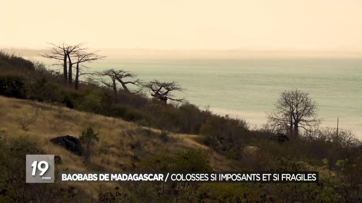 Baobabs de Madagascar : Colosses si imposants et si fragiles