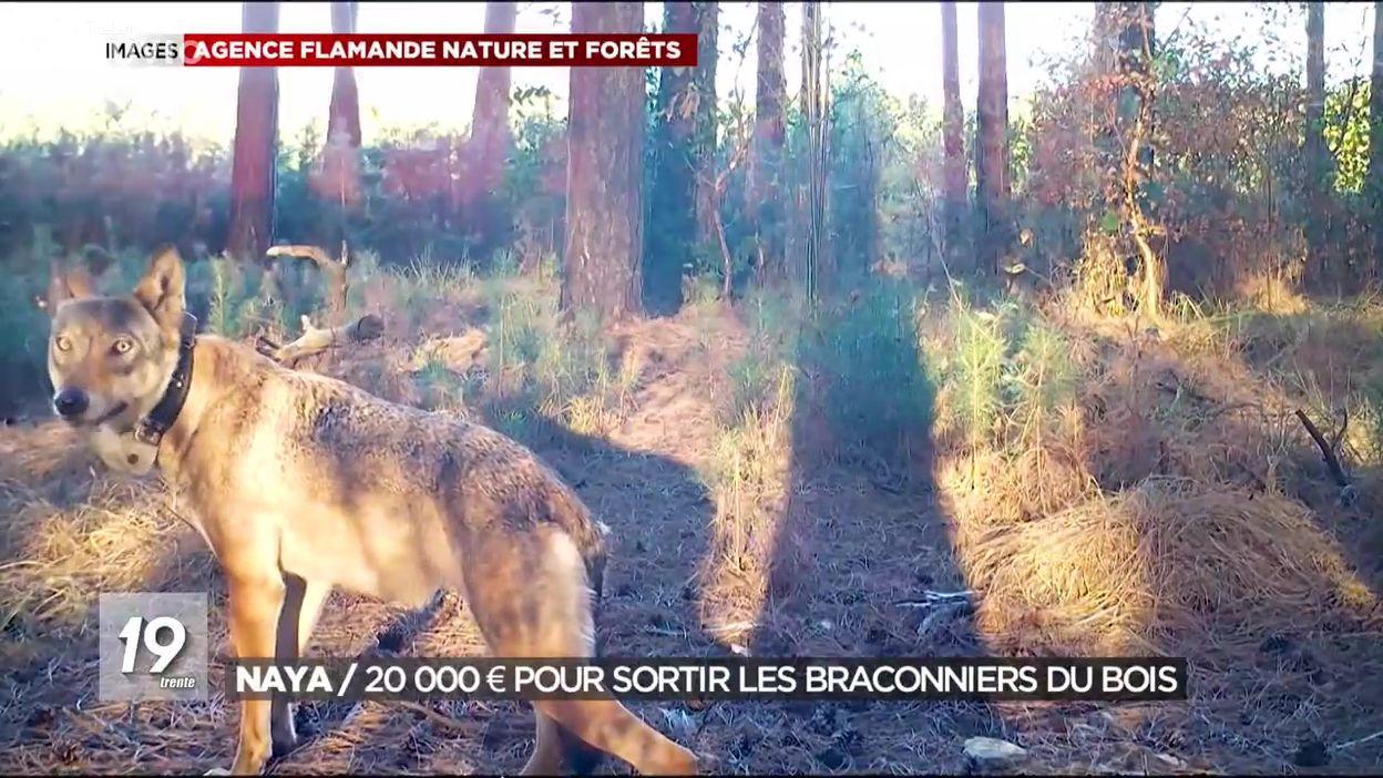 Mort de la louve Naya : 20 000 € de prime pour sortir les braconniers du bois