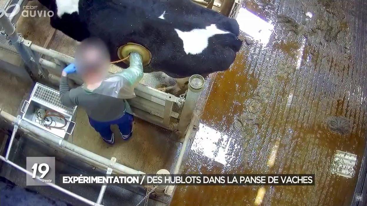 Expérimentation : des hublots dans la panse de vaches