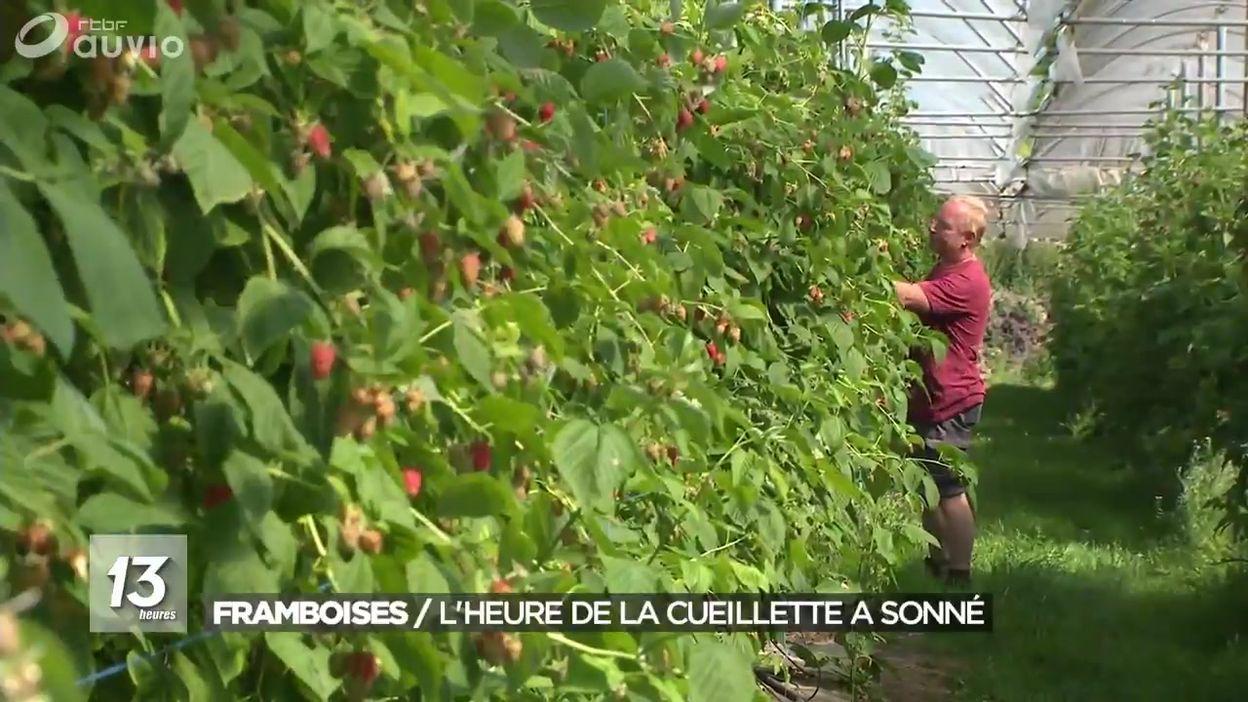 Framboises : l'heure de la cueillette a sonné