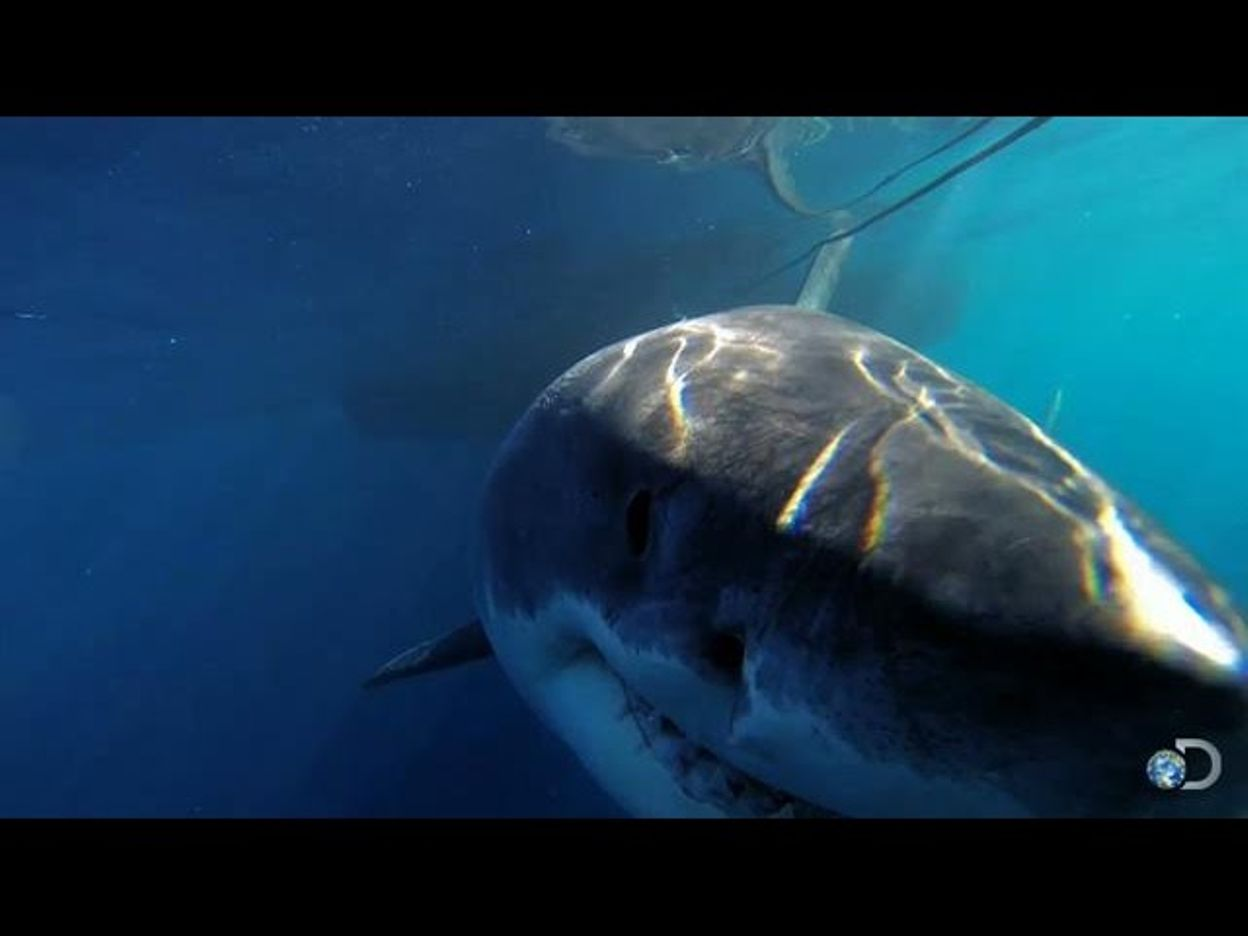 One of the Biggest Great Whites Ever Filmed | Jaws Strikes Back