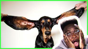 Le chien avec les oreilles les plus longues du monde